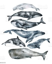 Watercolor Whale Illustration Isolated On White Background Handpainted Realistic Underwater Animal Art Humpback Grey Blue Killer Bowhead Beluga Cachalot Whales For Prints Poster Cards Stock Illustration Download Image Now iStock