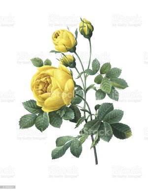 yellow rose flower redoute illustrations vector clip illustration single plant graphics icons
