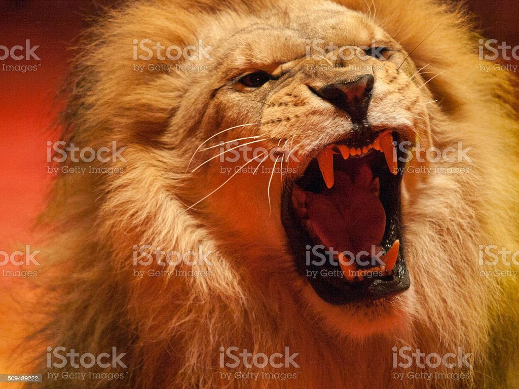 angry lion roaring stock