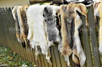 Animals Fur For Clothing On A Wooden Fence Stock Photo ...