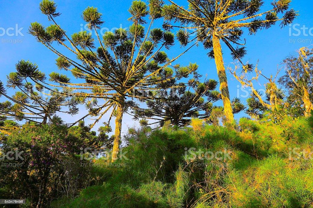 Brazilian Pine Tree