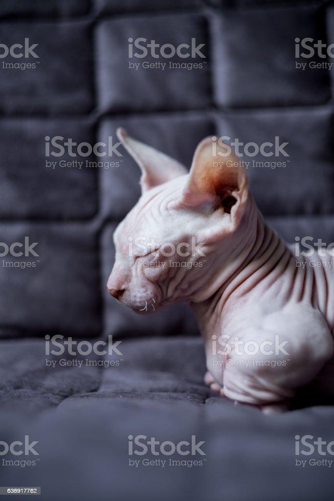 Munchkin Sphynx Cat : munchkin, sphynx, Bambino, Stock, Photo, Download, Image, IStock