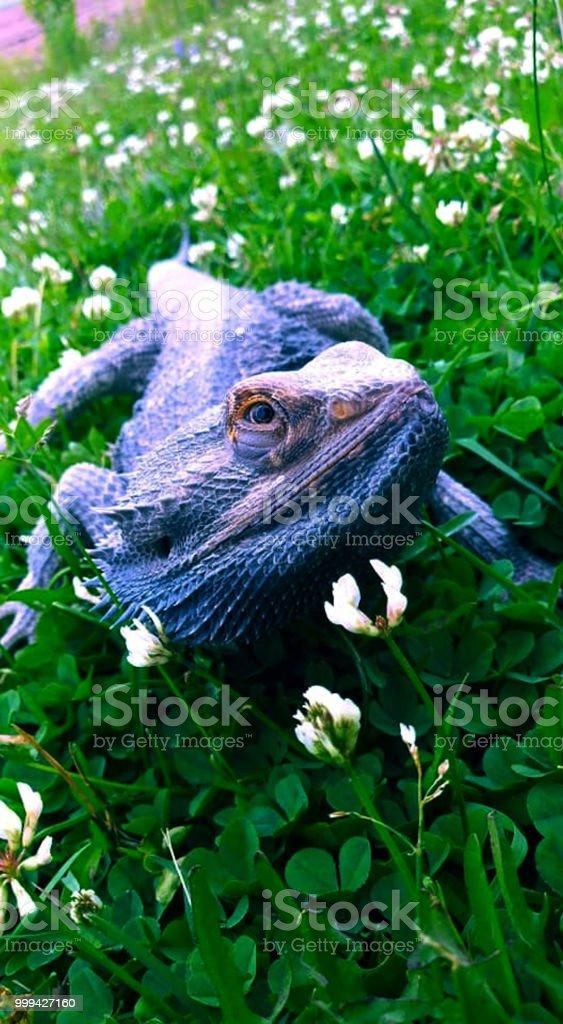 bearded dragon in grass