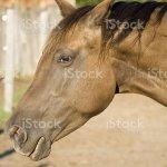 Beautiful Appaloosa Quarter Horse Stock Photo Download Image Now Istock