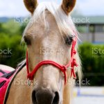 Beautiful Horse Head Closeup With Reins During Training Stock Photo Download Image Now Istock