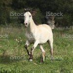 Beautiful Palomino Horse Running Stock Photo Download Image Now Istock