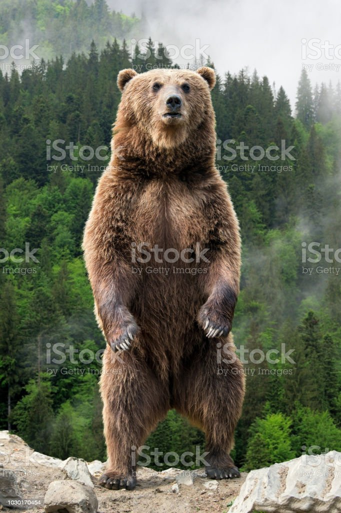 best grizzly bear stock
