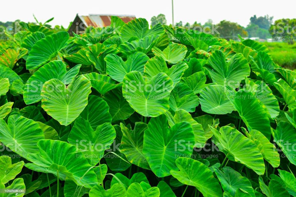 big green leafy albino