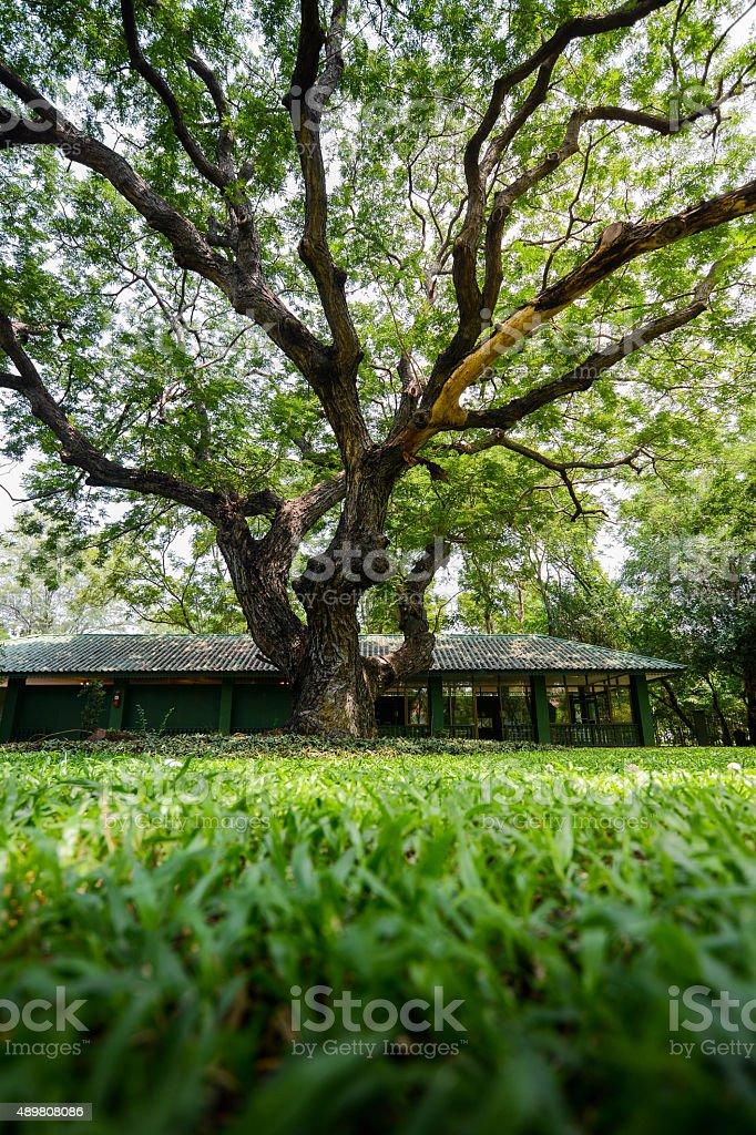 雨豆樹 圖畫、圖片和照片檔 - iStock
