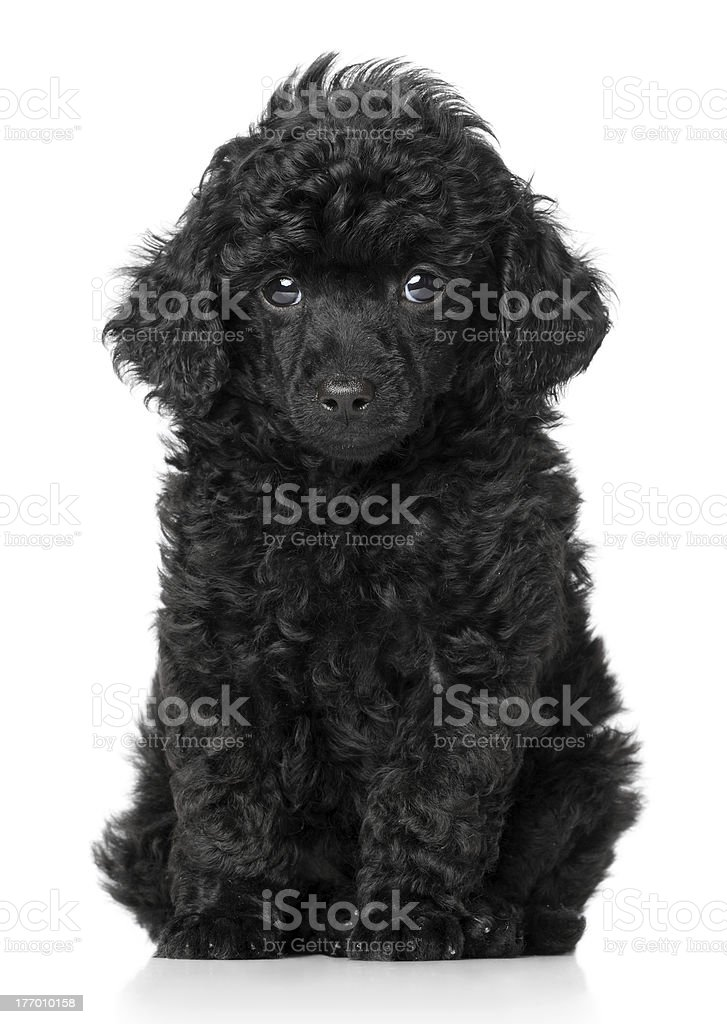 Black Teacup Poodle : black, teacup, poodle, Black, Poodle, Puppy, Stock, Photo, Download, Image, IStock