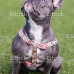 Blue French Bulldog Puppy Female Sitting And Looking Up Stock Photo Download Image Now Istock