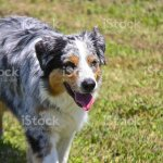 Blue Merle Australian Shepherd Puppy Stock Photo Download Image Now Istock
