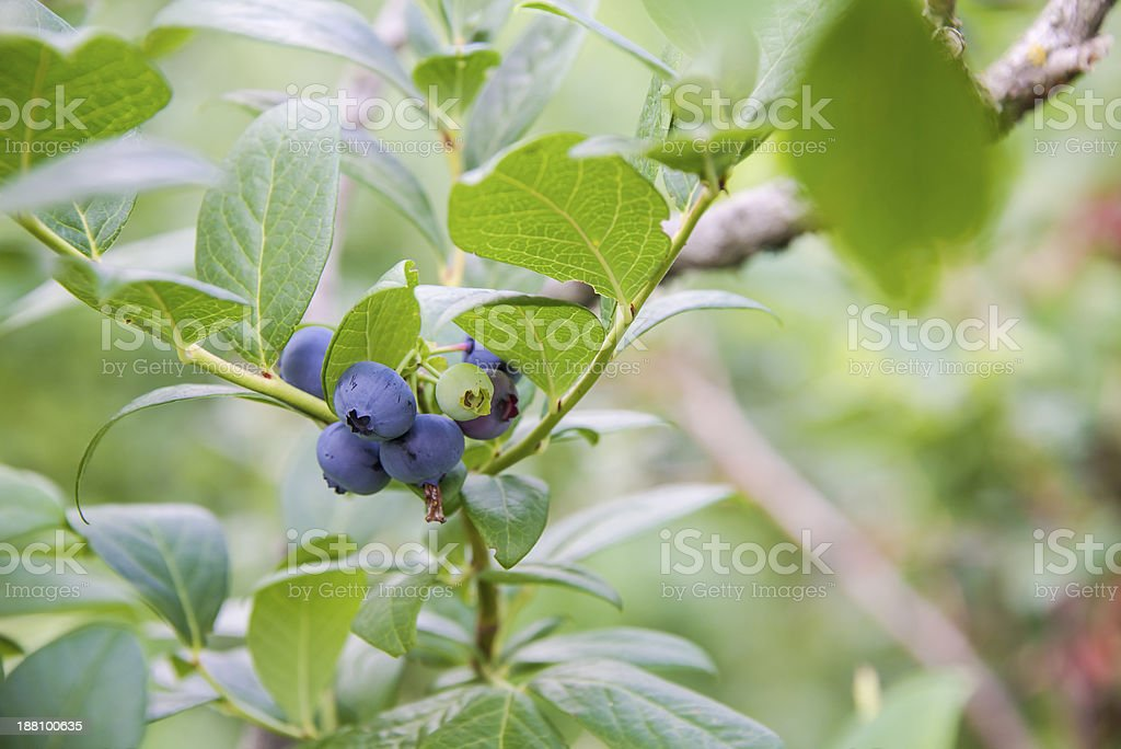 best blueberry vines stock