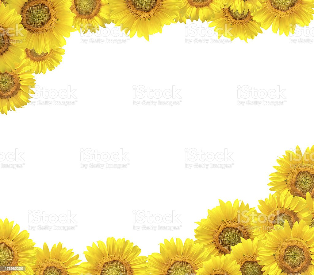 sunflower border stock