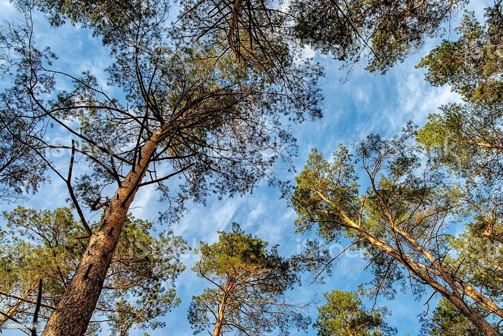 Download tropical evergreen forest stock photos. Bottom View Of Tall Trees In Evergreen Forest Foton Och Fler Bilder Pa Barr Istock