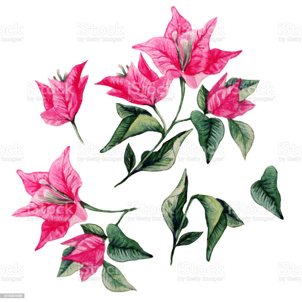 hight resolution of bougainvillea flower isolated clipart collection watercolor illustration royalty free stock photo