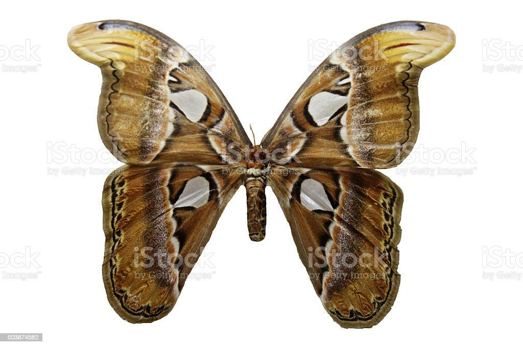 https www istockphoto com fr photo marron jaune papillon ailes magnifique insectes isol c3 a9 sur fond blanc gm503874582 82828215