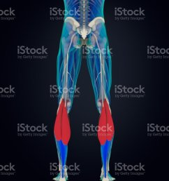 calf muscles human anatomy gastrocnemius 3d illustration royalty free stock photo [ 888 x 1024 Pixel ]
