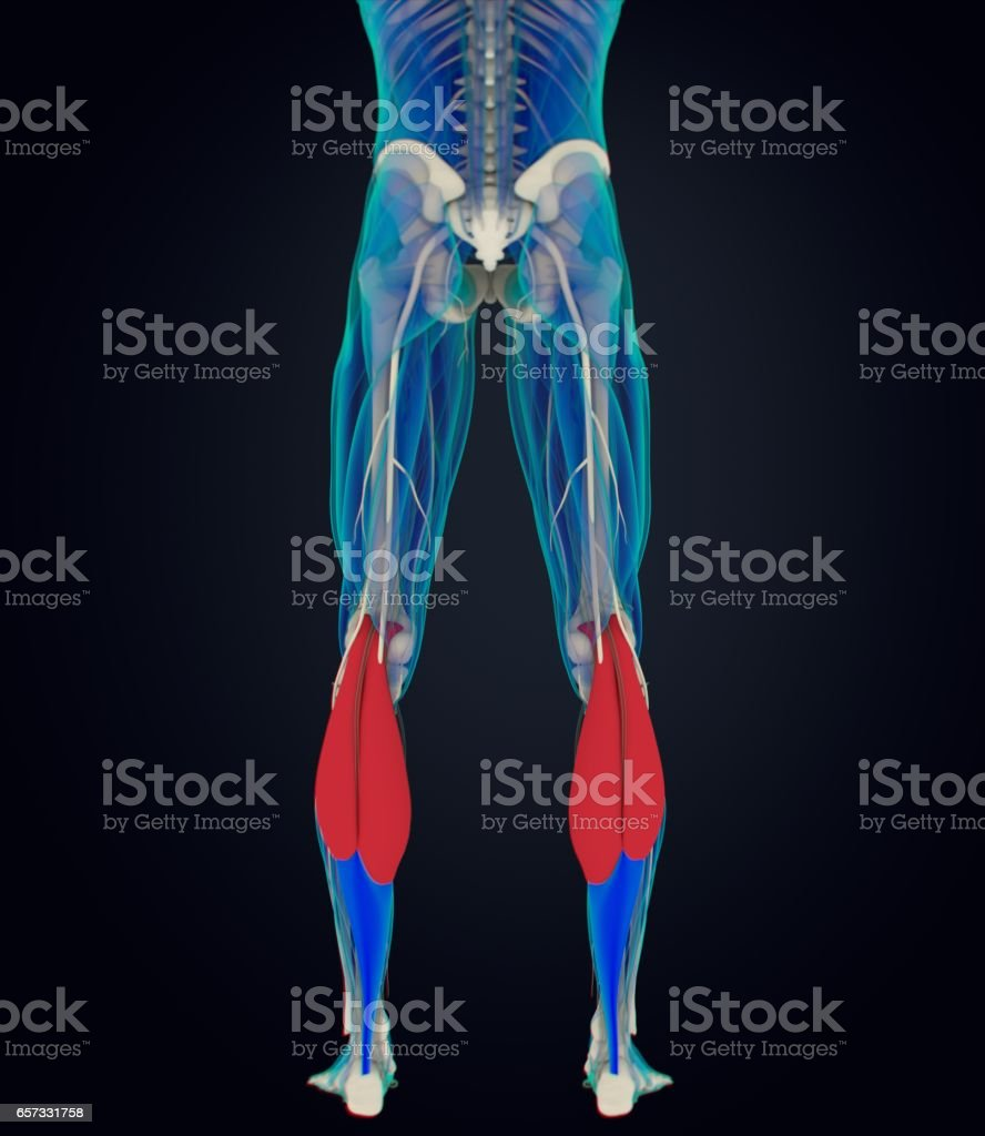 hight resolution of calf muscles human anatomy gastrocnemius 3d illustration royalty free stock photo