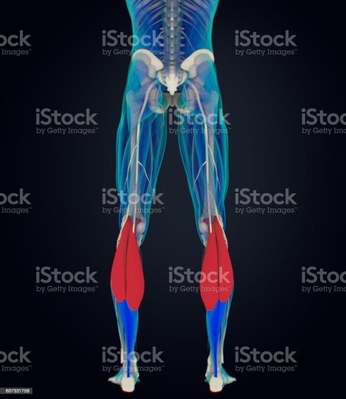 small resolution of calf muscles human anatomy gastrocnemius 3d illustration royalty free stock photo