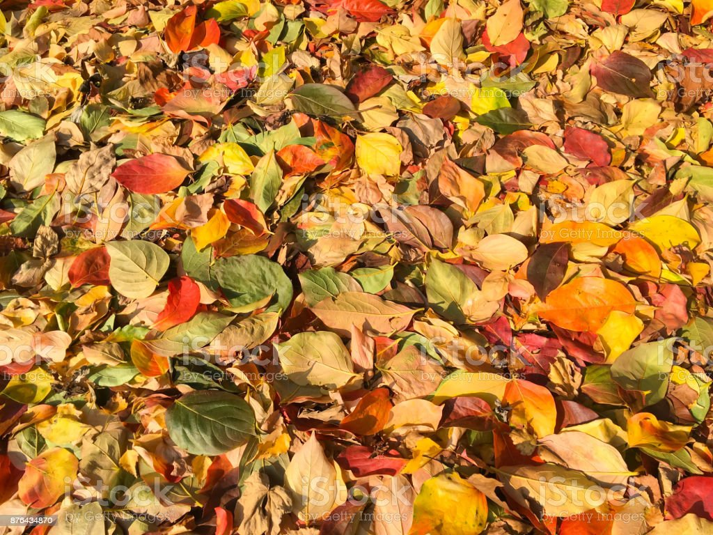 https www istockphoto com fr photo tapis de feuilles dautomne en plusieurs couleurs gm876434870 244619157