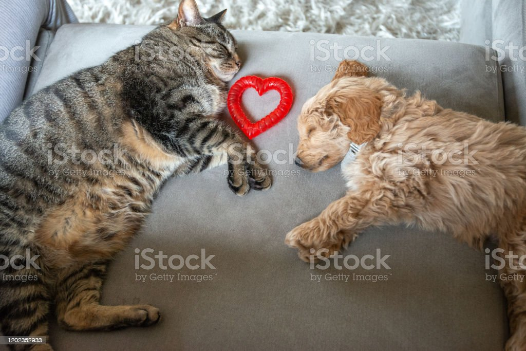 https www istockphoto com photo cat and new puppy asleep together on the couch with heart shaped toy between them gm1202352933 345158547