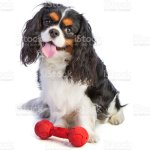 Cavalier King Charles Spaniel Sitting With A Toy Stock Photo Download Image Now Istock