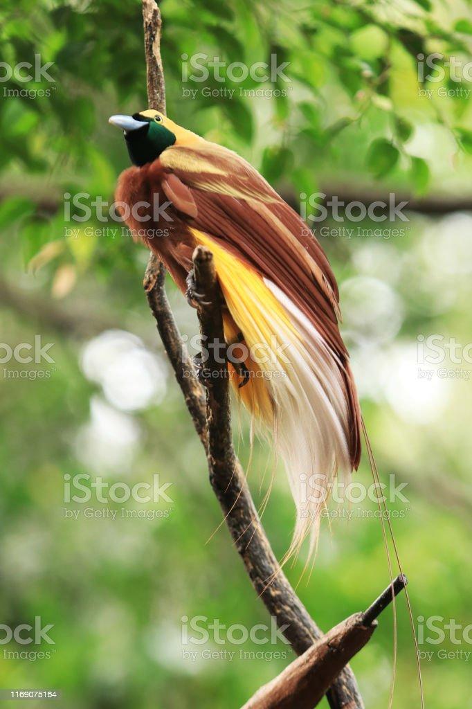 Cendrawasih Raggiana : cendrawasih, raggiana, Cendrawasih, Birds, Paradise, Stock, Photo, Download, Image, IStock