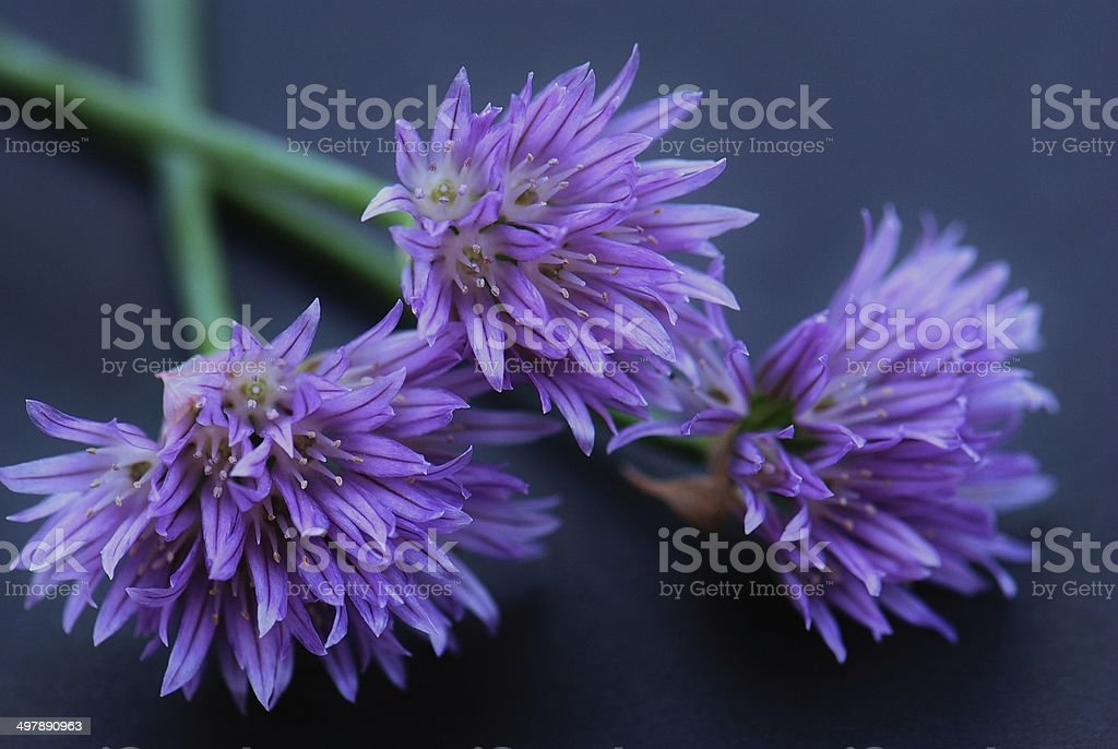 chive flowers isolated on