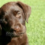 Chocolate Lab Puppy With Head Tilted Stock Photo Download Image Now Istock