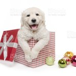 Christmas Gift Golden Retriever Puppy Stock Photo Download Image Now Istock