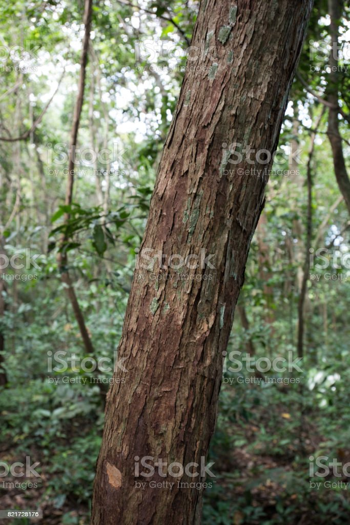 Designer read full profile one tree can start a forest; Closeup Of Tree Trunk In Dry Tropical Evergreen Forest Stock Photo Download Image Now Istock