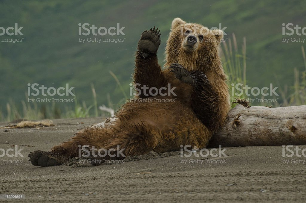 best bear stock photos