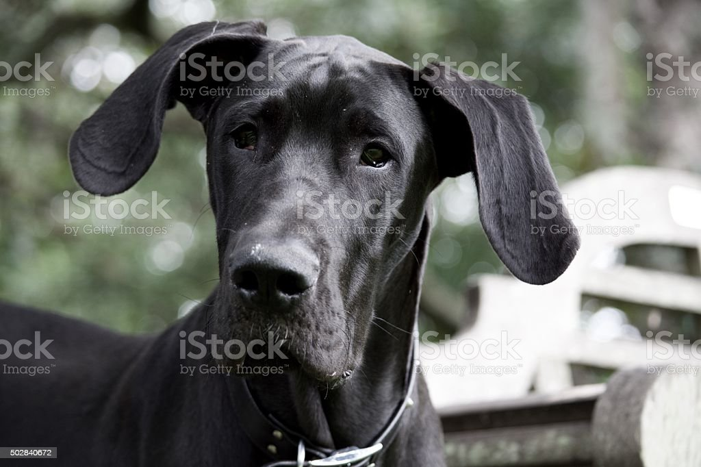 Royalty Free Black Great Dane Puppy Face Pictures Images