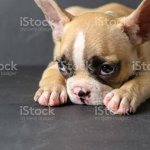 Cute French Bulldog Puppy Sleep On Black Stone Stock Photo Download Image Now Istock
