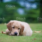 Cute Golden Retriever Puppy Stock Photo Download Image Now Istock