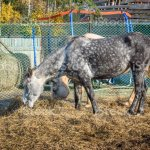 Dappled Gray And Palomino Horses Eating Hay Stock Photo Download Image Now Istock