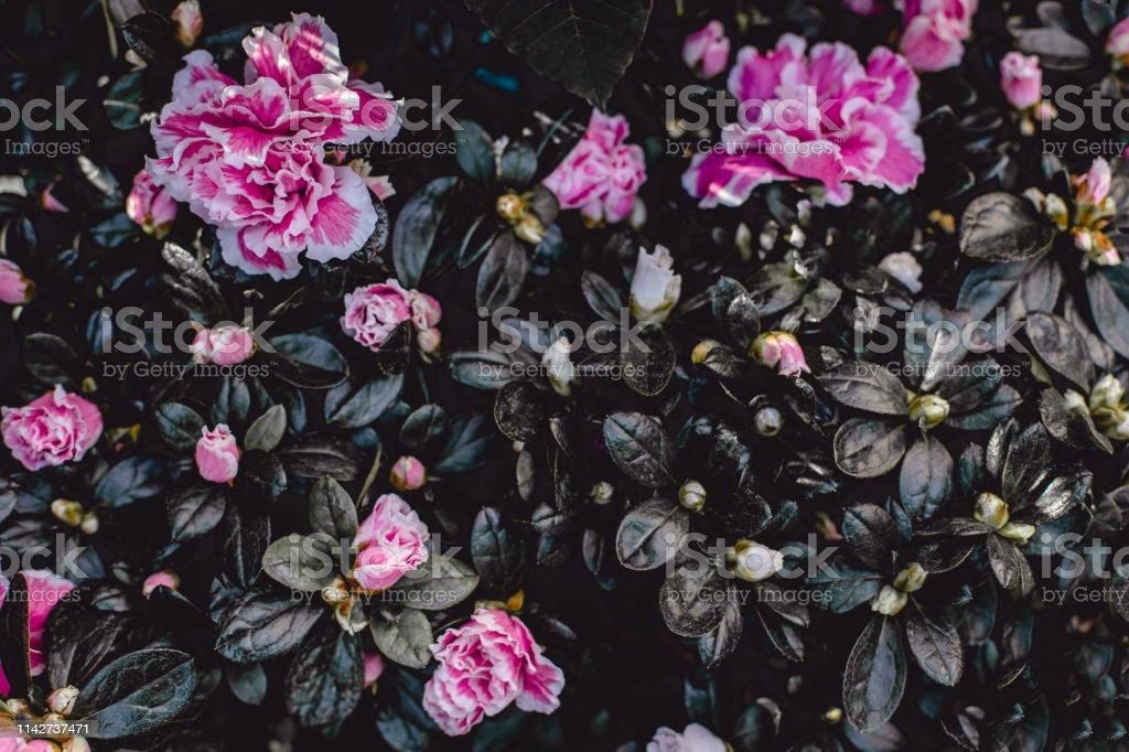 photo libre de droit de fond de fleur vintage fonce fleur dazalee rose fond decran banque d images et plus d images libres de droit de abstrait istock