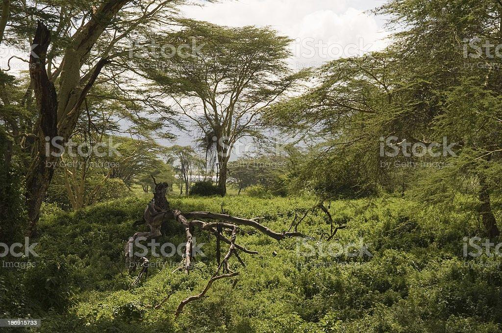 The valley in the dense forest jpg. Dense Forest In Tanzania Foton Och Fler Bilder Pa Afrika Istock