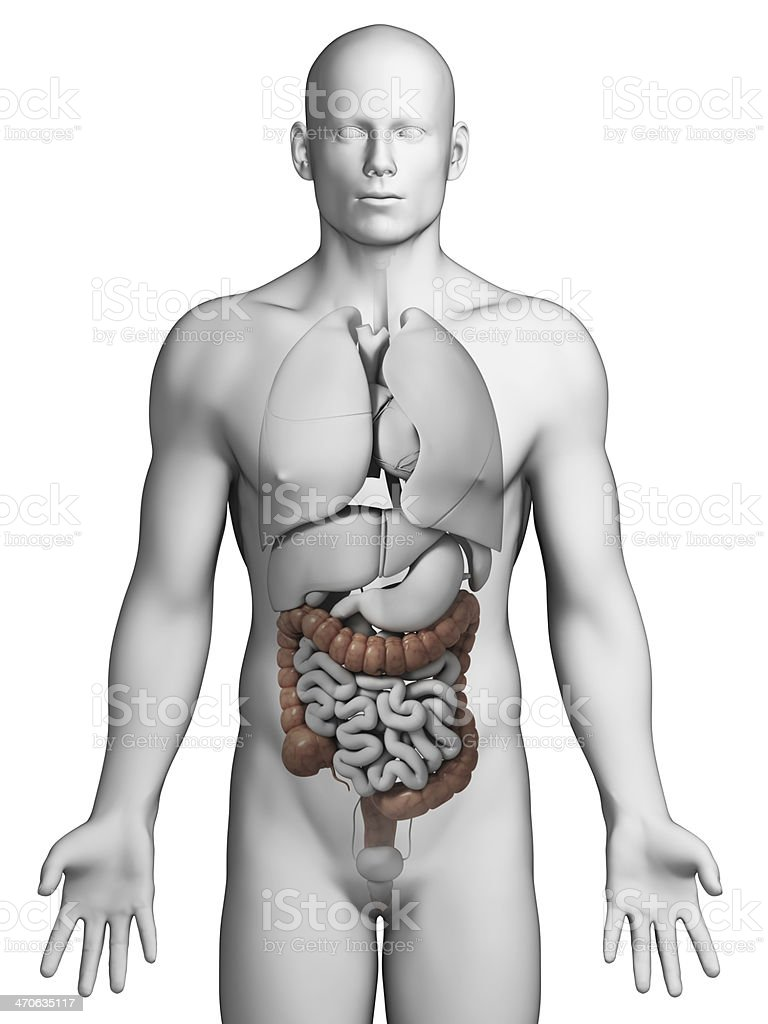 hight resolution of a diagram of the human colon on a model of a human royalty free stock