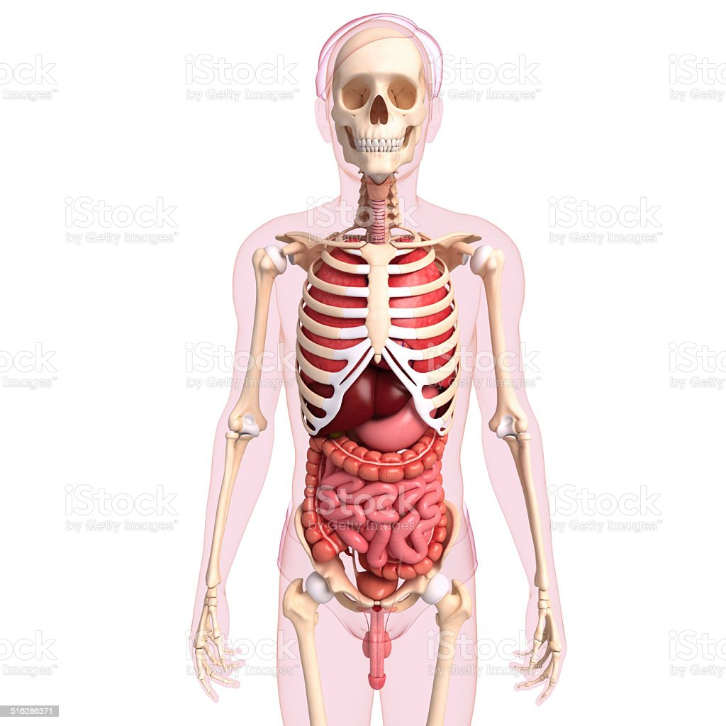 hight resolution of digestive system of male body stock image