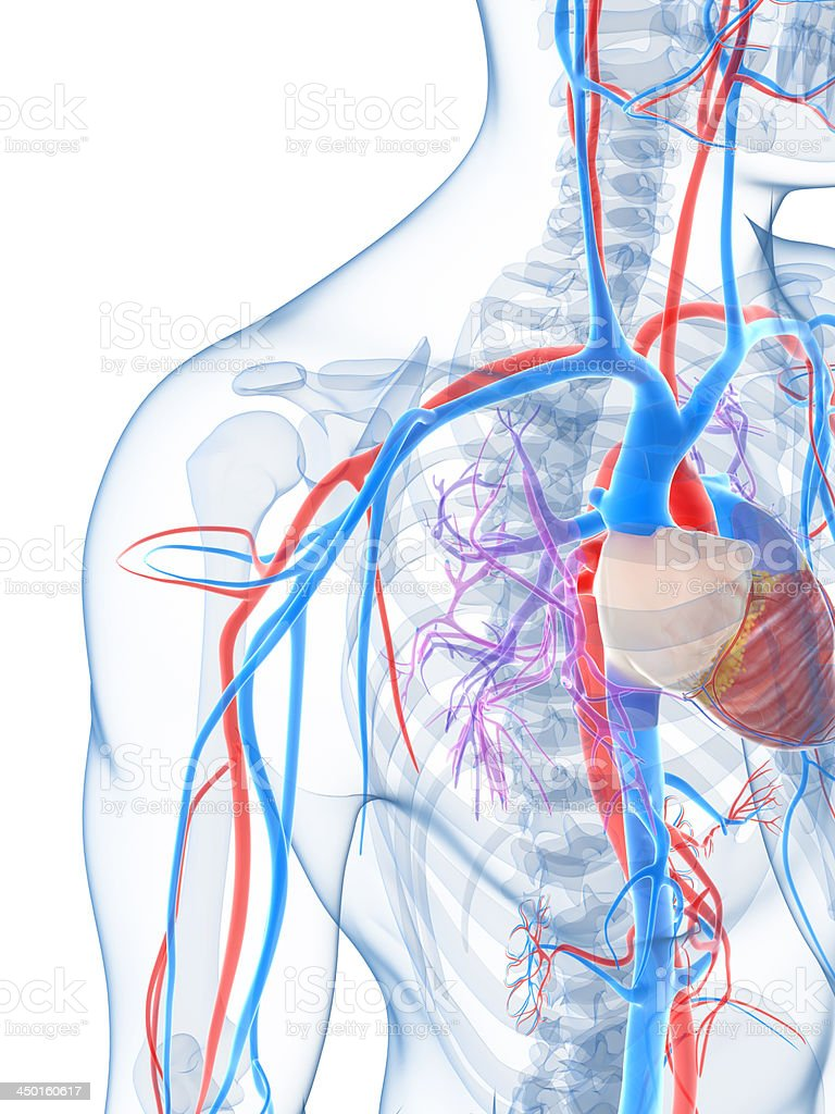 human vascular anatomy diagram light switch wiring digital representation of the system stock photo image