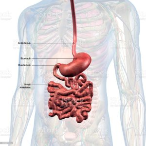 Diagram Of The Esophagus And Stomach | World of Reference