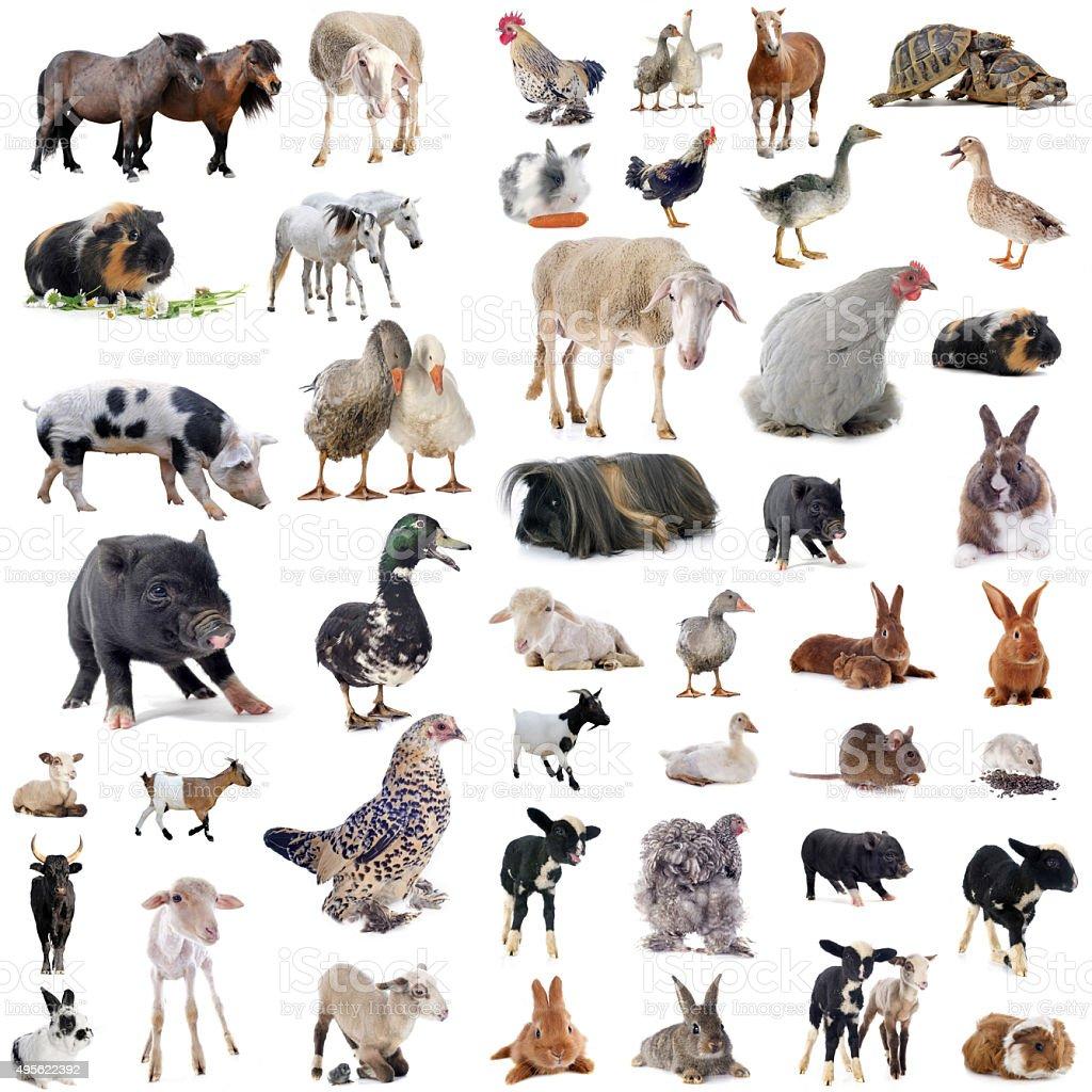 best farm animals stock