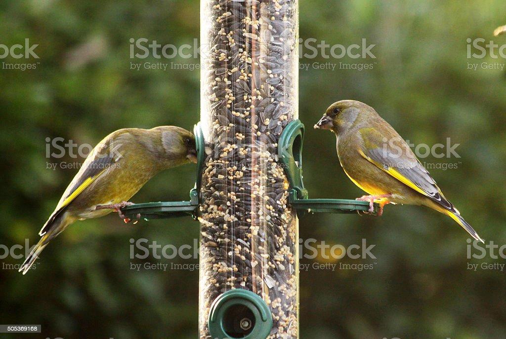 Vögel Füttern Garten Im Winter Greenfinches Stockfoto 505369168