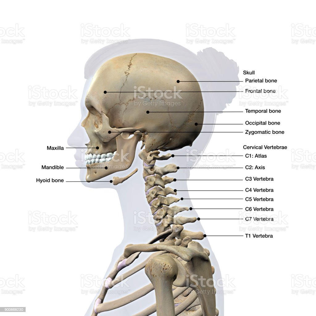 hight resolution of female lateral view of skull and neck vertebrae bones labeled on white royalty free stock
