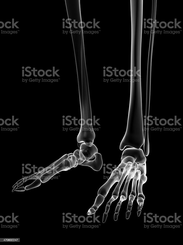 hight resolution of female skeleton foot royalty free stock photo