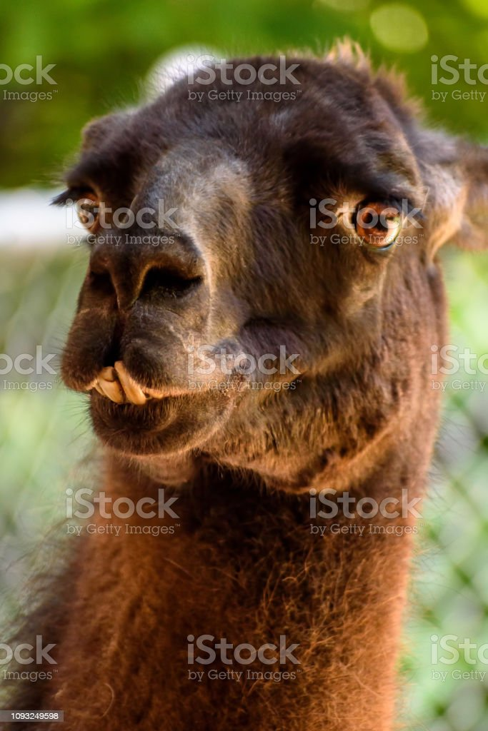 Funny Looking Llama : funny, looking, llama, Funny, Llama, Stock, Photo, Download, Image, IStock