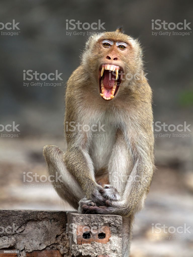 Funny Monkey Pictures Images : funny, monkey, pictures, images, Funny, Monkey, Stock, Photo, Download, Image, IStock