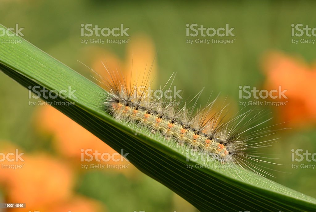 After hatching, the caterpillars work together to build their silken tent, which they use for shelter during hot or rainy weather. Fuzzy Tent Caterpillar Foton Och Fler Bilder Pa 2015 Istock